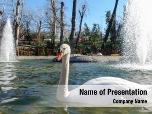 Kugulu white swan (swan) park