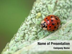 Plant ladybug leaf louse