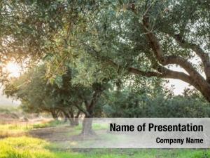 Garden olive trees