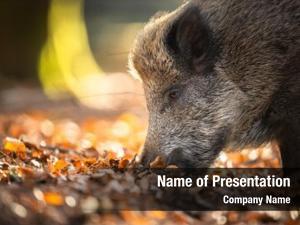 Sus wild boar scrofa, also