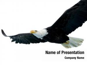 White bald eagle