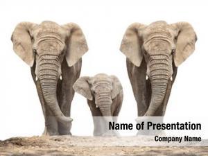 (loxodonta african elephant africana) family