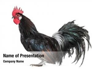 5000+ Poultry farm PowerPoint Templates - PowerPoint