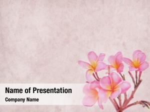Tropical frangipani plumeria flower old