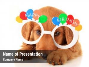 Puppy irish setter wearing happy