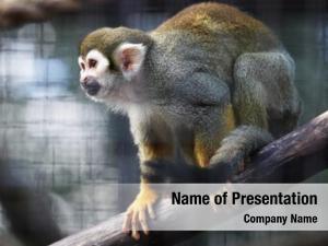 Zoo squirrel monkey