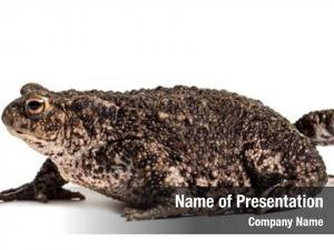 European common toad, toad, simply