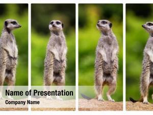 Standing collage meerkats, their hind