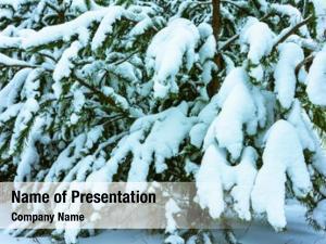 Trees whitened fir fresh snow,