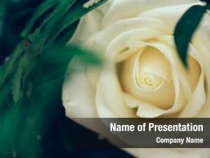 Petal focus rose