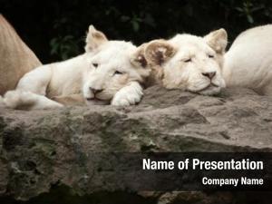 White two newborn lion cubs