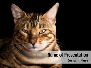 Portrait bengal cat black