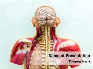 Brain, human body, skeleton muscular