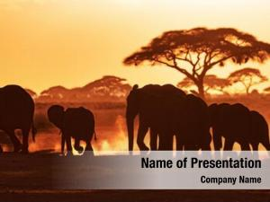 Through elephants march amboseli national
