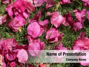 Bougainvillea hot pink flowers green