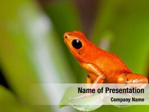 Dart exotic poison frog orange
