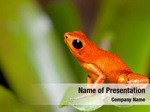 Dart exotic poison frog orange