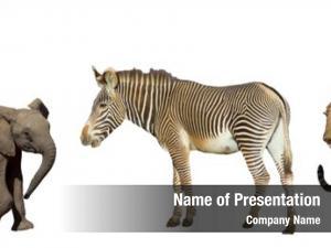 Leopards elephant, zebra white
