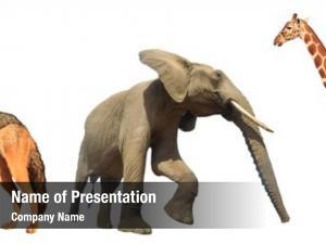 Jackal, wild dog, elephant, giraffe
