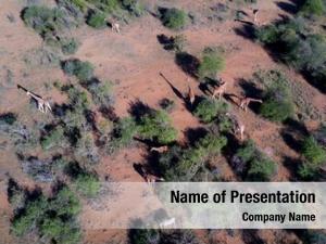 Photo aerial drone african giraffes