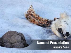 Polar head dead bear, young