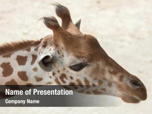 (giraffa kordofan giraffe camelopardalis antiquorum),