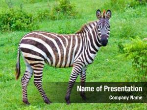 Savanna zebra green
