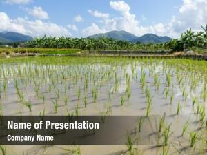 Paddy planting new rice