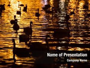Swimming group swans river vltava