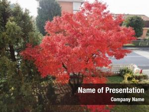 Acer red maple (acer rubrum)
