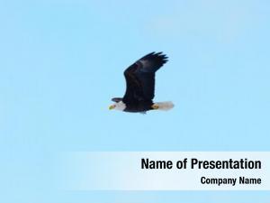 Flight bald eagle