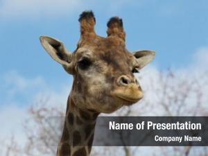 (giraffa angolan giraffe camelopardalis angolensis),