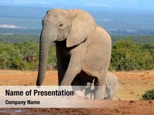 Cowl african elephant (loxodonta africana),
