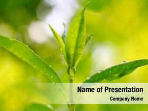 (thea tea tree sinensis)