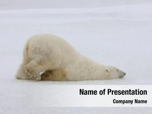 Bear when polar does scooch