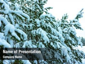 Trees whitened fir fresh snow,