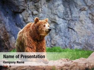 Log grizzly bear wild