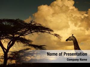 Sunset giraffe savanna