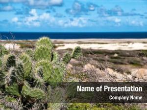 Growing spiny cactus seashore aruba