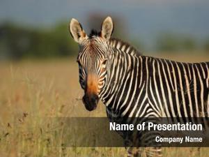 Mountain portrait cape zebra (equus
