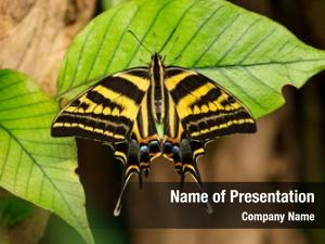 Papilio beautiful butterfly pilumnus tropical