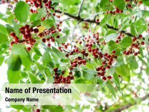 Tree ripe cherries