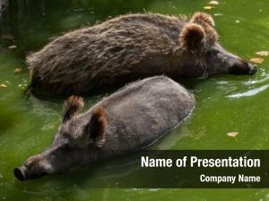 (sus wild boar scrofa), also