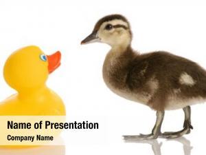 Duck baby mallard standing rubber