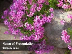 Creeping colorful pink phlox ,outdoors
