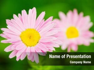 Flower pink daisy closeup (pink