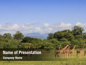Meru wild giraffes national park,