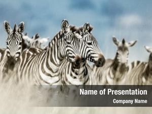 Wild herd zebra savannah, serengeti,