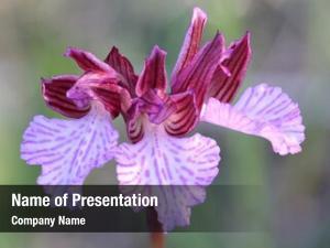 (anacamptis butterfly orchid papilionacea), mediterranean