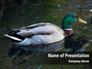 (anas wild duck platyrhynchos), also